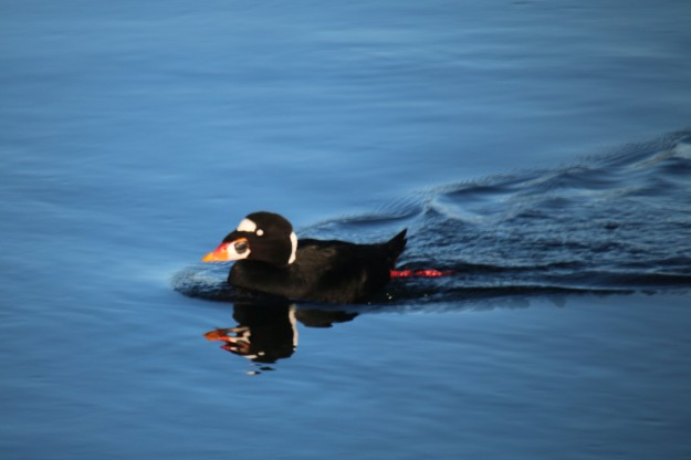 blog-sea-scoter-img_4692_1